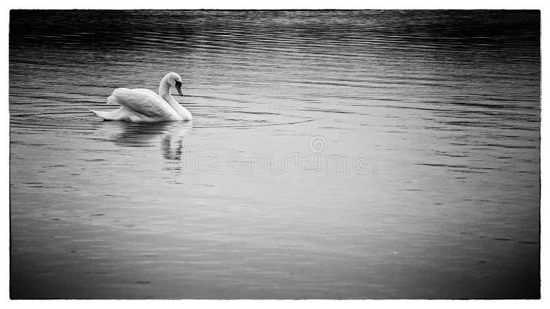 Cisne blanco imagen de archivo libre de regalías