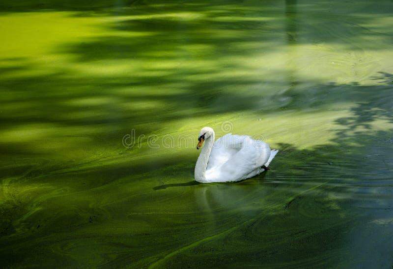 Cisne blanco en el agua verde fotos de archivo