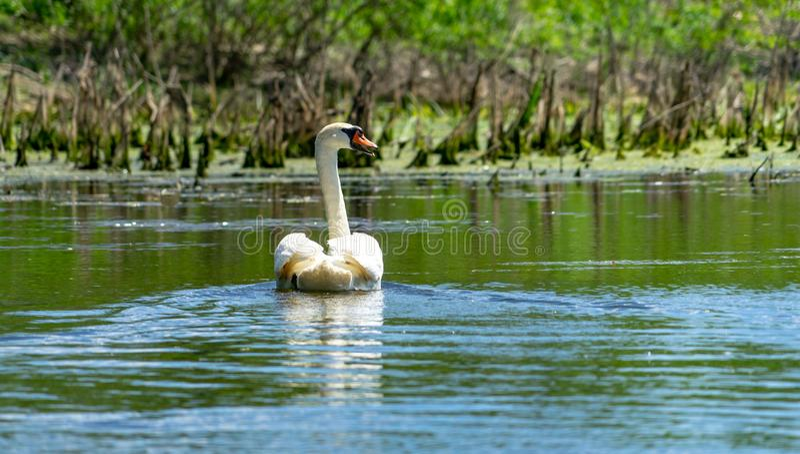 Cisne blanco en el delta azul de Danubio imagenes de archivo