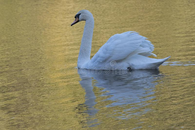 Cisne blanco en luz de oro en el campo común de Southampton imagenes de archivo