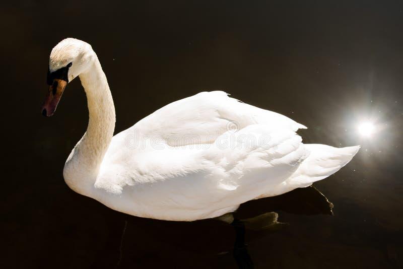 Cisne blanco en una charca imagen de archivo