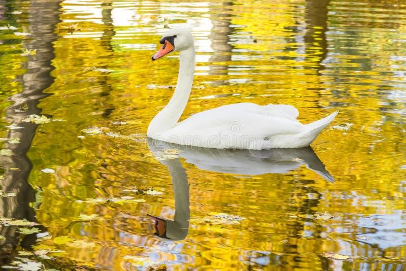Cisne blanco en una charca entre las hojas caidas foto de archivo libre de regalías