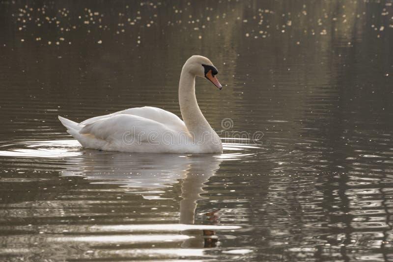 Cisne blanco en una mañana soleada fotos de archivo libres de regalías