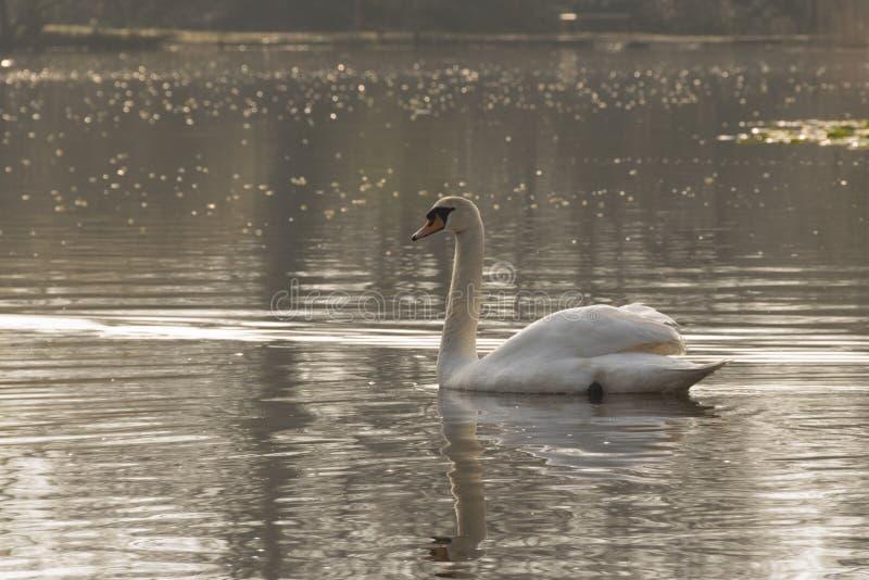 Cisne blanco en una mañana soleada imagenes de archivo