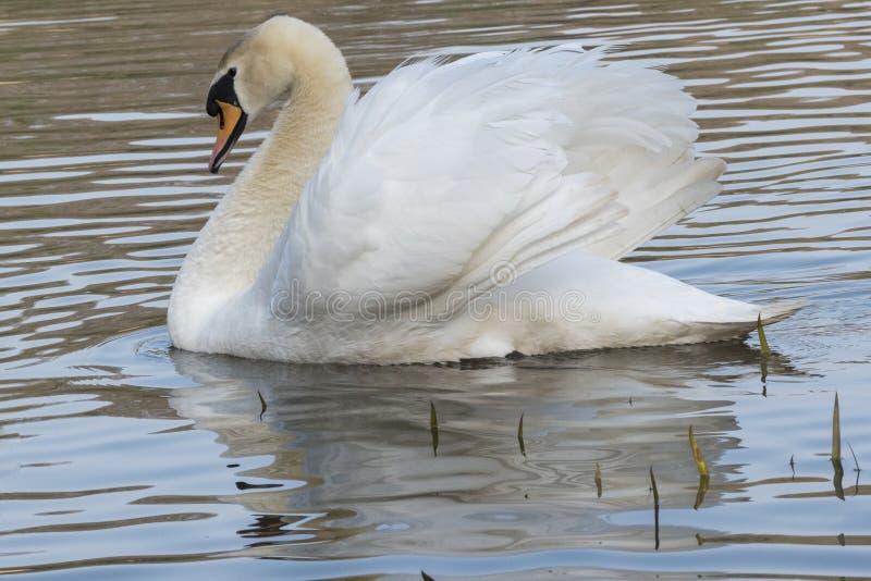 Cisne blanco en una ma?ana soleada imágenes de archivo libres de regalías