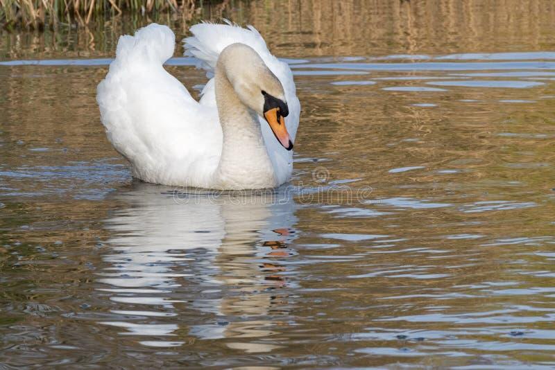 Cisne blanco en una ma?ana soleada fotografía de archivo