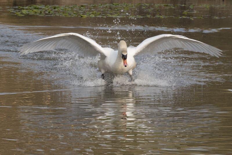 Cisne blanco en vuelo imagenes de archivo