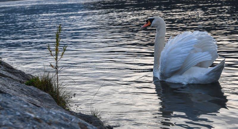 Cisne blanco hermoso fotografía de archivo