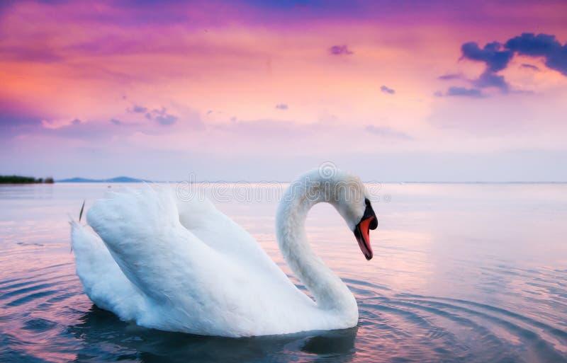 Cisne blanco hermoso imagenes de archivo