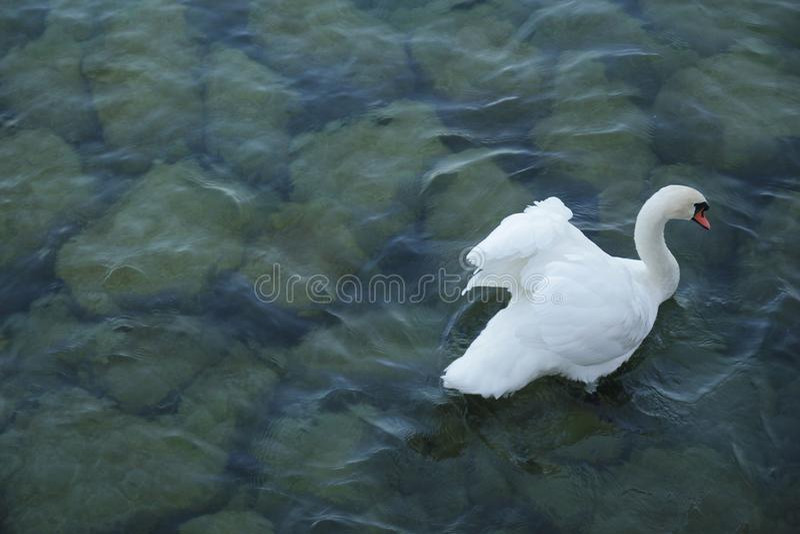 Cisne blanco hermoso en el río azul foto de archivo libre de regalías