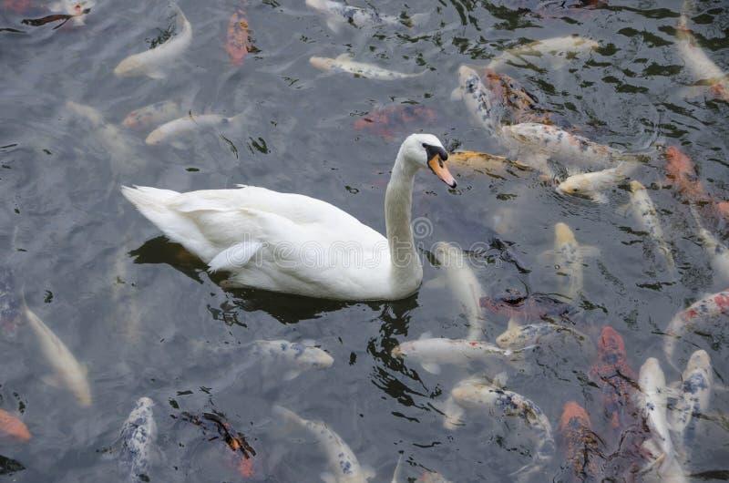 Cisne blanco rodeado por Koi Fish foto de archivo