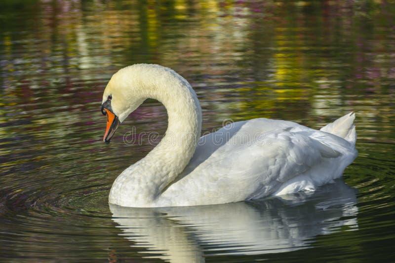 Cisne blanco y reflexiones coloreadas imágenes de archivo libres de regalías
