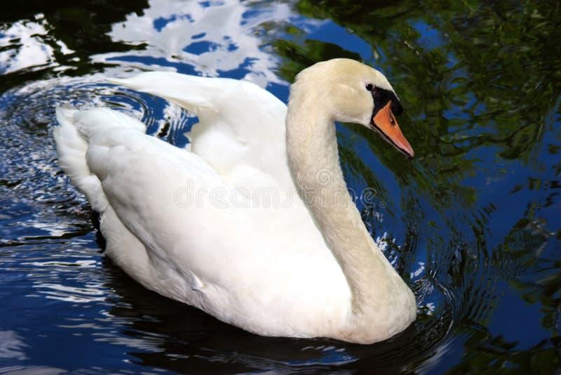 Cisne bonita foto de stock