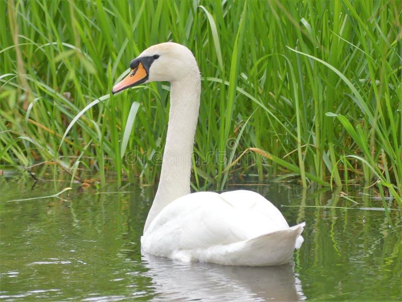 Cisne bonita na xadrez do rio em Chenies imagens de stock royalty free