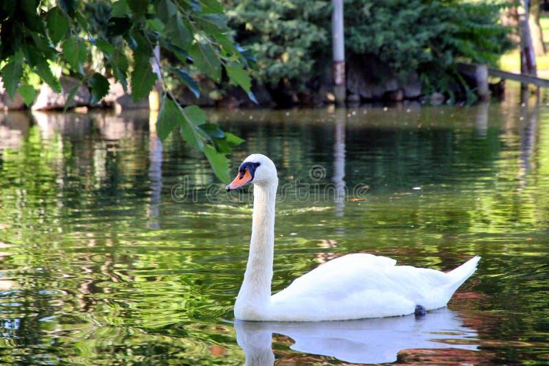 Cisne bonita no parque Boston EUA imagens de stock