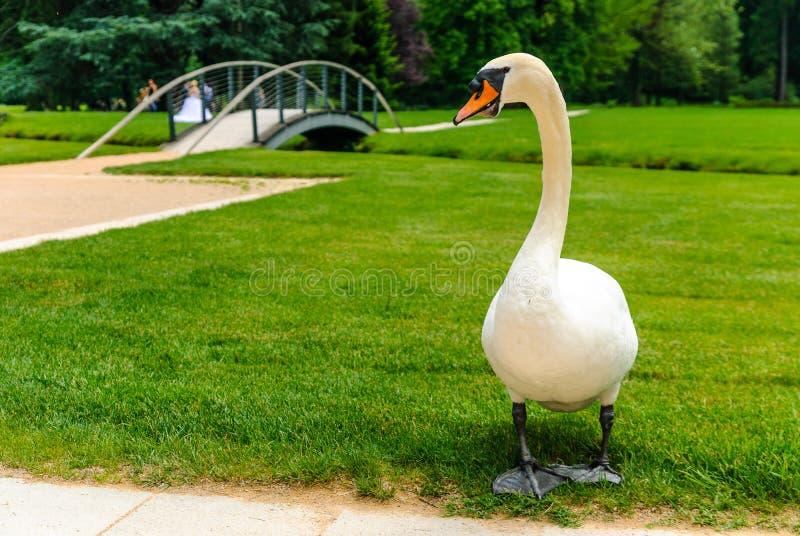 Cisne bonita no parque do palácio do castelo de Vizille com sessão da fotografia do casamento no fundo, Vizille, França fotos de stock