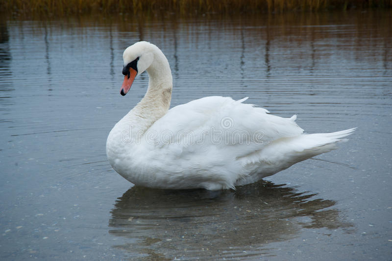 Cisne branca foto de stock royalty free