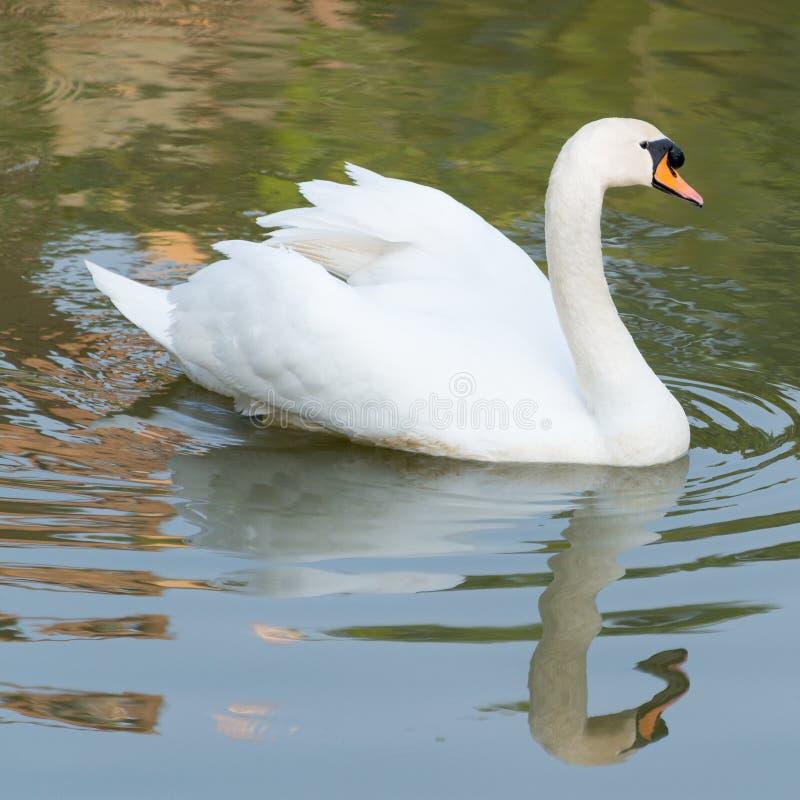 Cisne branca fotos de stock royalty free