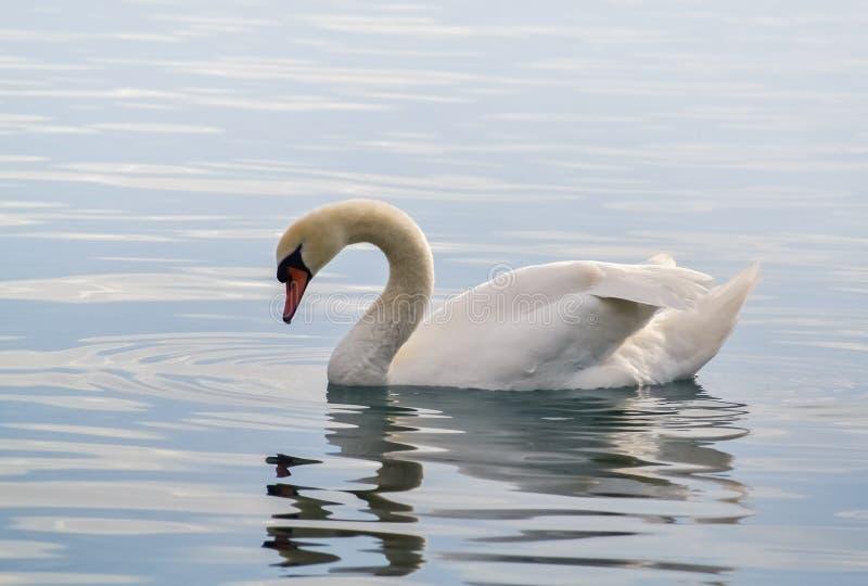 Cisne branca bonita imagem de stock