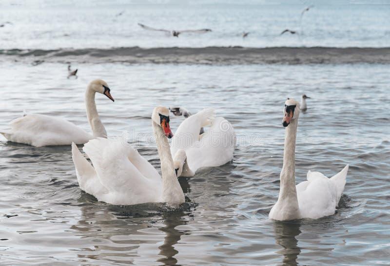 Cisne branca bonita com família, gaivotas imagem de stock royalty free