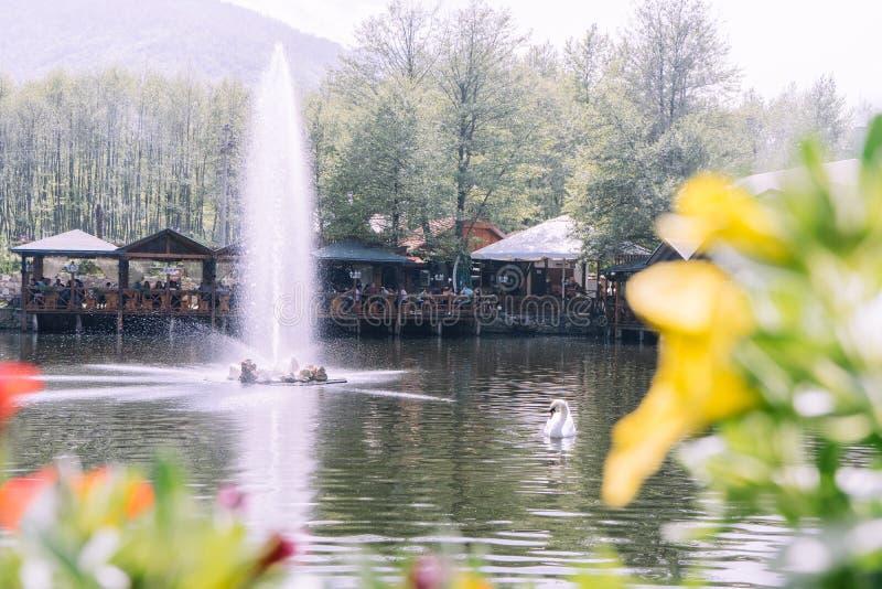 Cisne branca bonita que nada em um lago com uma fonte grande imagens de stock royalty free