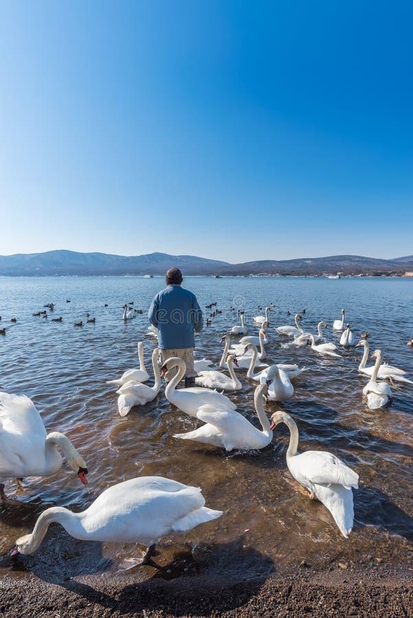 Cisne branca da alimentação japonesa do homem no lago Yamanaka imagem de stock