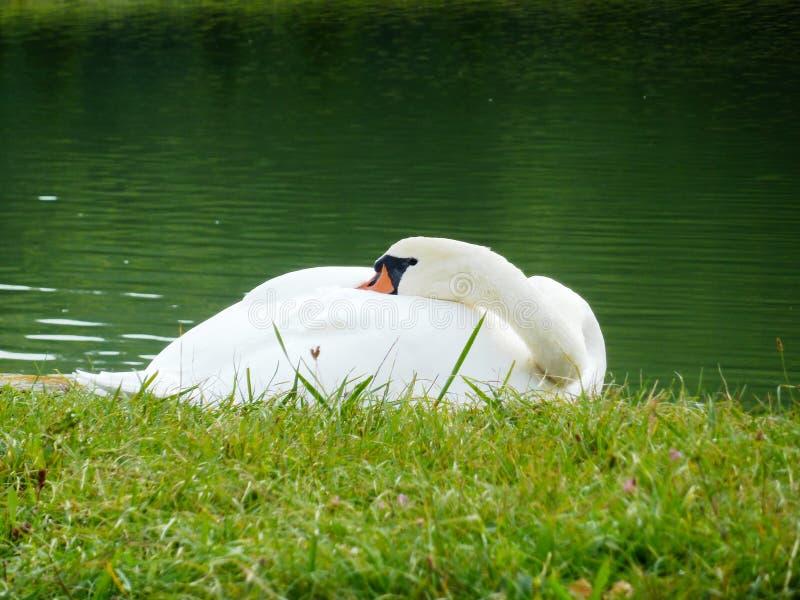 A cisne branca do sono no banco do lago imagens de stock royalty free