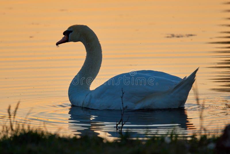 Cisne branca em um fundo da água do por do sol fotos de stock royalty free