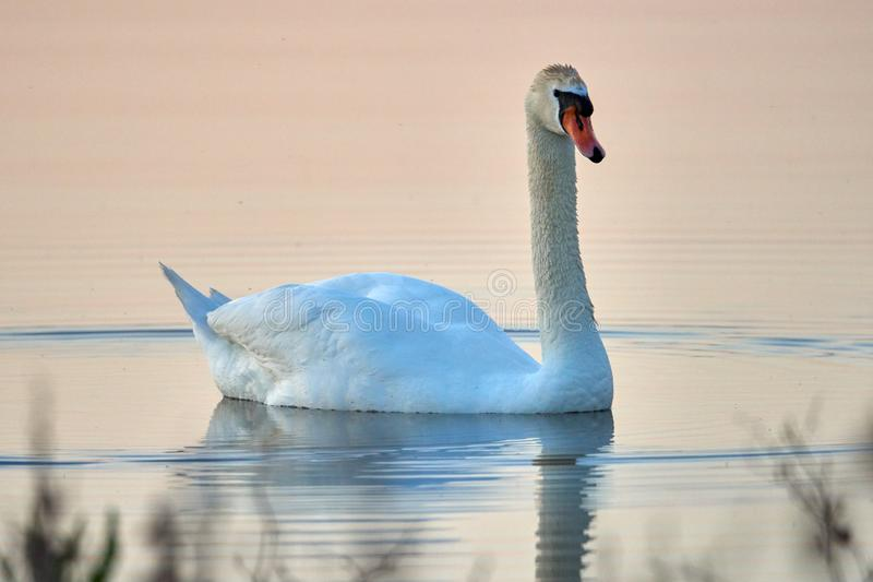 Cisne branca em um fundo da ?gua do por do sol fotos de stock