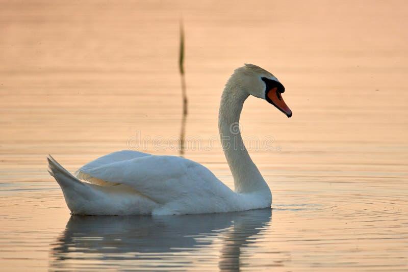 Cisne branca em um fundo da ?gua do por do sol fotografia de stock royalty free