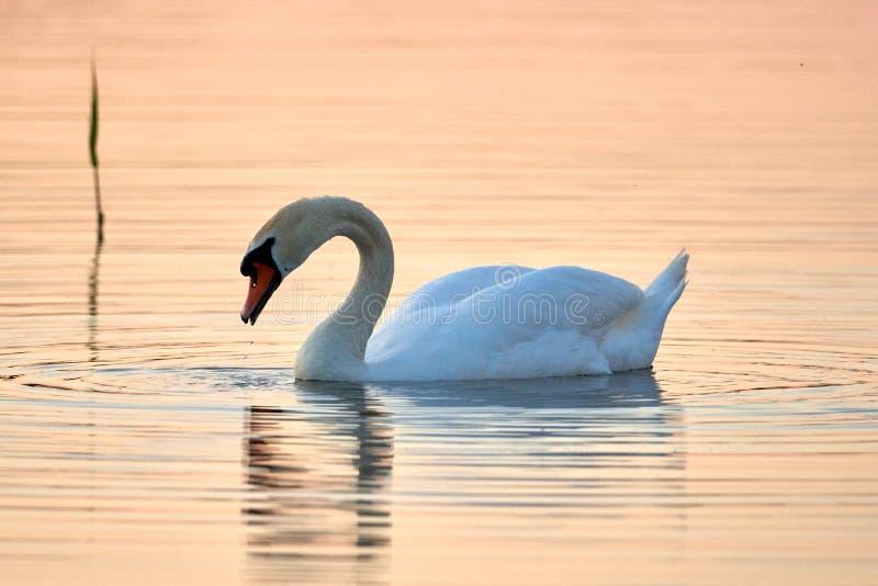 Cisne branca em um fundo da ?gua do por do sol fotografia de stock