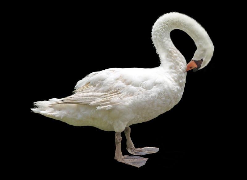 Cisne branca isolada em um fundo preto imagem de stock royalty free
