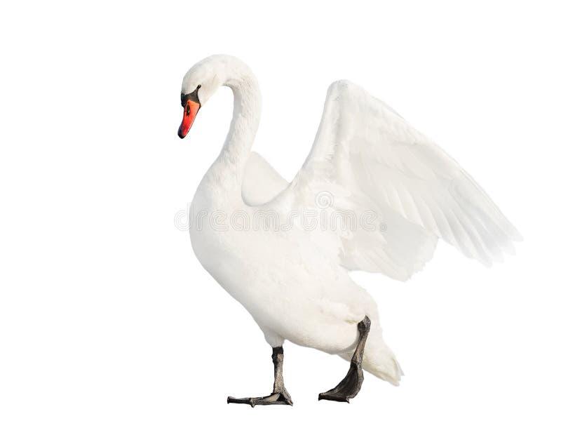 Cisne branca isolada no fundo branco foto de stock