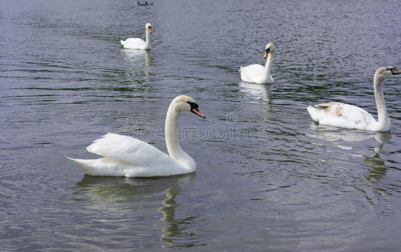 Cisne branca isolada Cisne branca no lago imagem de stock royalty free