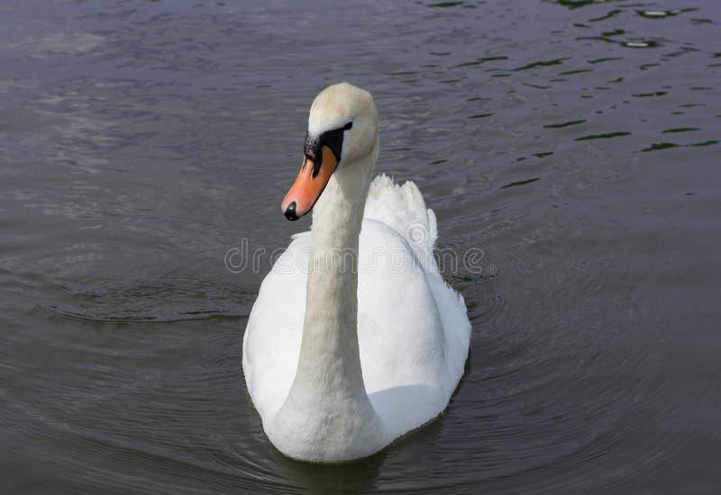 Cisne branca isolada Cisne branca no lago fotografia de stock royalty free