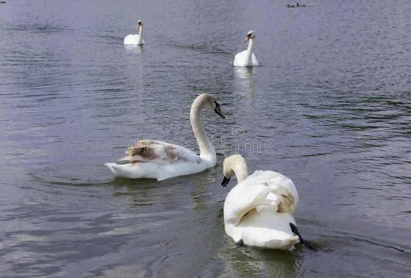 Cisne branca isolada Cisne branca no lago foto de stock royalty free