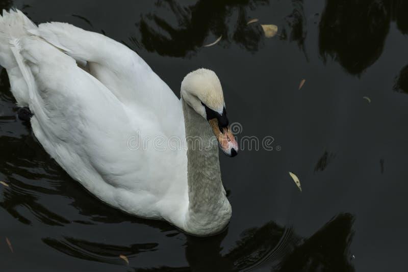 Cisne branca na água imagem de stock royalty free