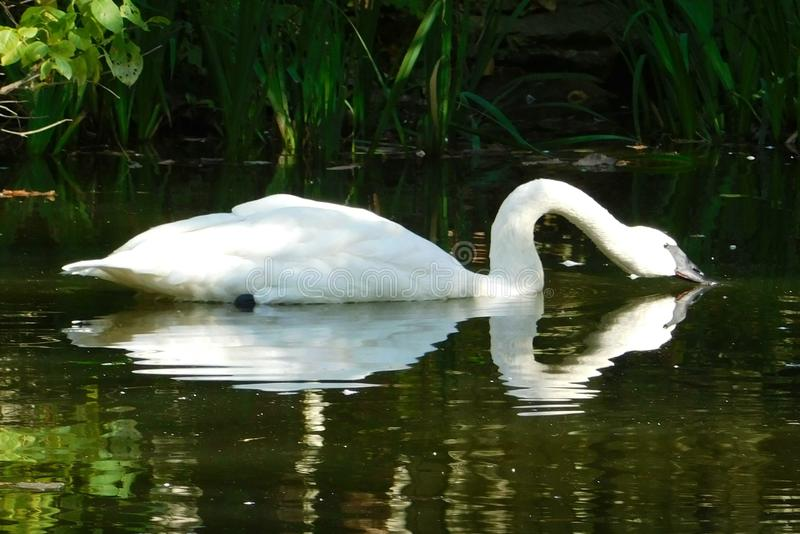 Cisne branca na água fotos de stock