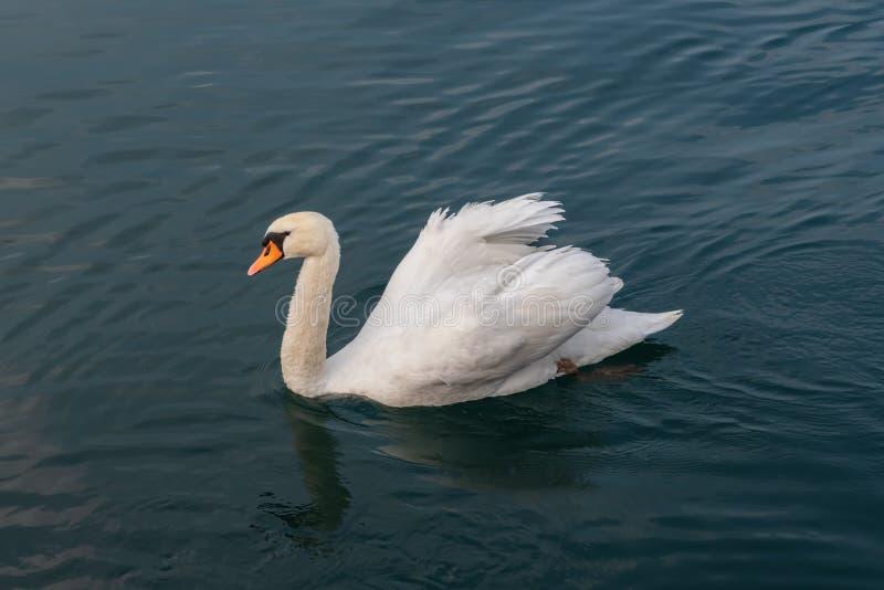 Cisne branca na água calma fotografia de stock royalty free