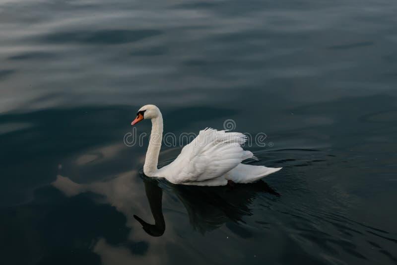 Cisne branca na água calma fotos de stock royalty free