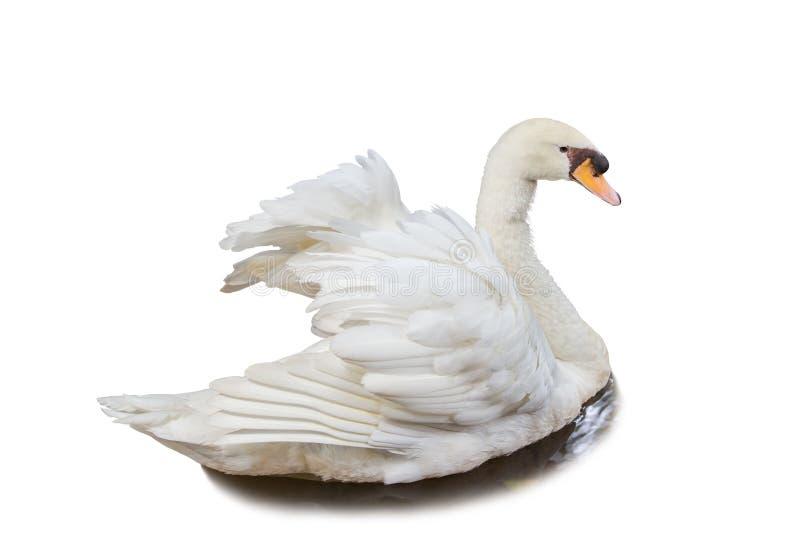 Cisne branca na água isolada no fundo branco fotografia de stock