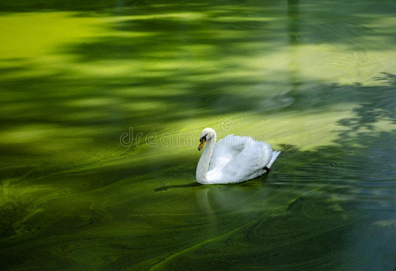 Cisne branca na água verde fotos de stock