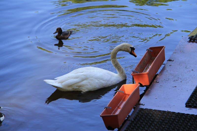 Cisne branca na calha com alimento imagem de stock