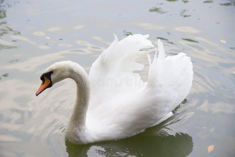 A cisne branca nada no lago foto de stock