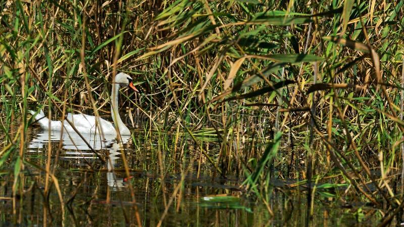 Cisne branca no delta de Danúbio imagem de stock