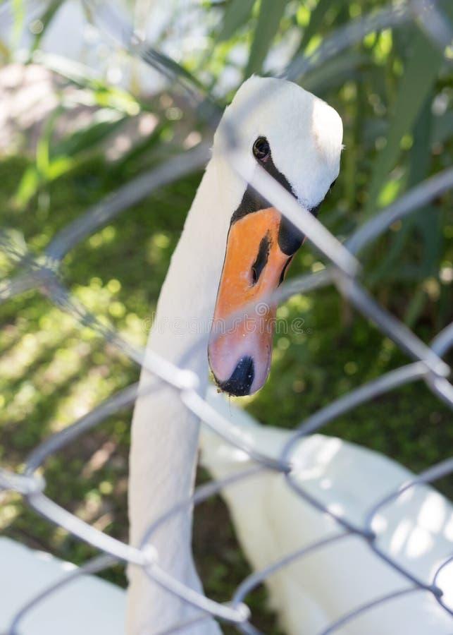Cisne branca no jardim zoológico imagem de stock