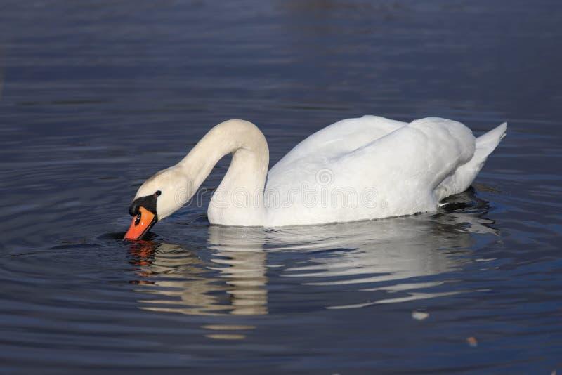Cisne branca no lago imagens de stock