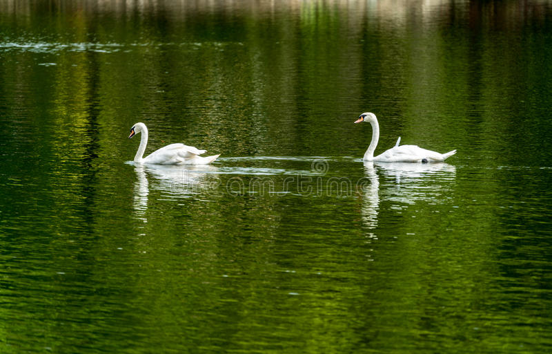 Cisne branca no lago verde fotografia de stock