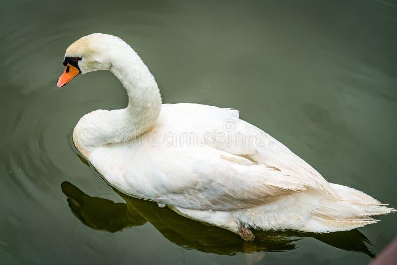 Cisne branca no lago verde foto de stock royalty free