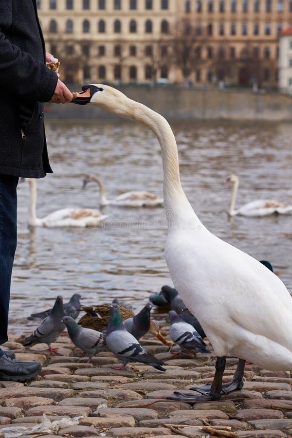 Cisne branca que come da mão imagem de stock royalty free
